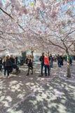 Les gens marchant dans Kungstradgarden pendant les fleurs de cerisier roses Images libres de droits