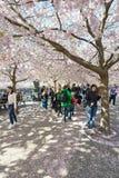 Les gens marchant dans Kungstradgarden pendant les fleurs de cerisier roses Photographie stock libre de droits