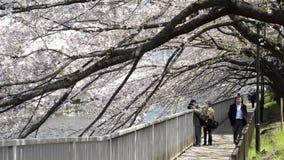 Les gens marchant sous des fleurs de cerisier près d'une rive à Tokyo banque de vidéos
