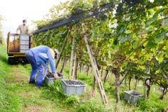 Les gens moissonnant le raisin sur un vignoble chez Porza près de Lugano sur le commutateur Images libres de droits