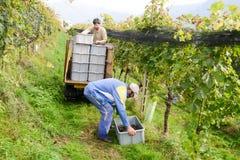 Les gens moissonnant le raisin sur un vignoble chez Porza près de Lugano sur le commutateur Images stock