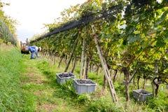 Les gens moissonnant le raisin sur un vignoble chez Porza près de Lugano sur le commutateur Photos stock