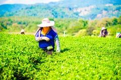 Les gens sélectionnaient des feuilles de thé à une plantation de thé Image stock
