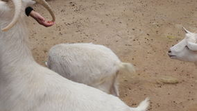 Les gens sont alimentés des chèvres avec des mains à la ferme banque de vidéos