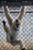Les gibbons sont le nom général pour les animaux de primat Ils sont appelés pour leur longueur spéciale Les paumes sont plus long photos libres de droits
