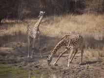 Les girafes de Thornicroft Photographie stock libre de droits