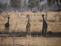 Les girafes de Thornicroft Image stock