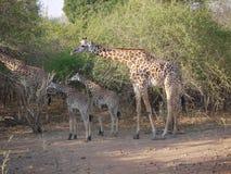 Les girafes de Thornicroft Images stock