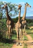 Les girafes inspectent des touristes dans une réservation de jeu Photos libres de droits