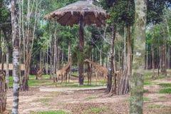 Les girafes mangent des branches d'arbre en parc de safari Photo stock