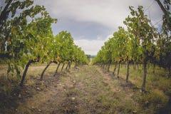 Les gisements de raisin en Toscane, Italie Images libres de droits