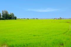 Les gisements de riz Photo libre de droits
