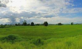 Les gisements de riz Image stock