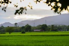 Les gisements de riz de vert Photos libres de droits