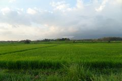 Les gisements verts de riz apportent le bonheur images stock