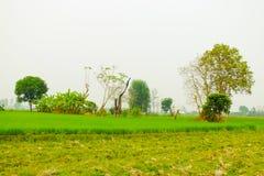 Les gisements verts de riz est fond Image libre de droits