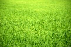 Les gisements verts de riz de paysage sont beaux Photo stock