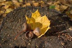 Les glands de Brown sur des feuilles d'automne se sont allumés avec le soleil photographie stock libre de droits