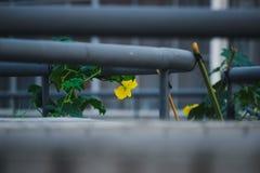 Les gloires de matin, les fleurs jaunes et les feuilles vertes sous les balustrades du bâtiment sont en pleine floraison pendant  photographie stock libre de droits