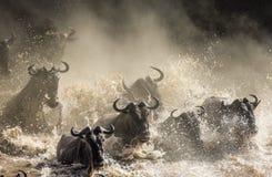 Les gnous traversent la rivière de Mara Transfert grand kenya tanzania Masai Mara National Park images libres de droits