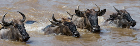 Les gnous traversent la rivière de Mara Transfert grand kenya tanzania Masai Mara National Park images stock