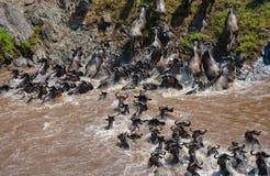 Les gnous traversent la rivière de Mara Transfert grand kenya tanzania Masai Mara National Park photos stock