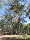 Les gommes de la rivière rouge, Flinders s'étend parc national, Australie Images stock