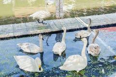 Les gooses blancs flottant dans l'étang arrosent chez Kwan-Riam flottant le mA photo libre de droits