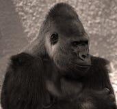 Les gorilles sont terre-logement, singes principalement herbivores photographie stock libre de droits