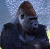 Les gorilles sont terre-logement, singes principalement herbivores photo libre de droits