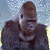 Les gorilles sont terre-logement, singes principalement herbivores image libre de droits
