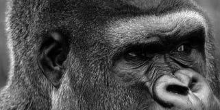 Les gorilles sont terre-logement, singes principalement herbivores photos libres de droits