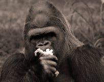 Les gorilles sont terre-logement, singes principalement herbivores images libres de droits