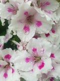 les gouttelettes proches de rosée engazonnent l'eau haute parfaite de matin de lame Image libre de droits
