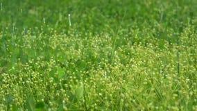 Les gouttes de pluie d'été tombent sur l'herbe verte fraîche du pré un jour ensoleillé d'été banque de vidéos