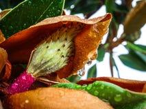 Les gouttes de pluie sur les feuilles vertes de magnolia et la petite magnolia fleurissent le bul Photo stock