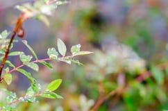 Les gouttes de pluie sur les feuilles vertes fraîches après pluie tombent Photographie stock libre de droits