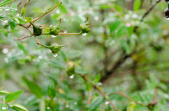 Les gouttes de pluie sur les feuilles vertes fraîches après pluie tombent Image libre de droits