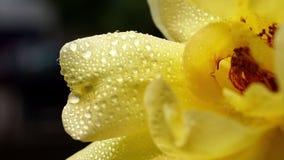 Les gouttes de pluie sur Rose jaune fleurissent des pétales - macro banque de vidéos