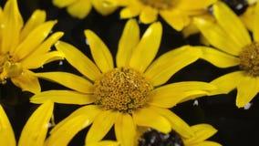 Les gouttes de pluie tombent sur flotter dans la marguerite de jaune de l'eau Beau banque de vidéos
