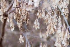Les graines d'arbre d'aîné de boîte pendent des branches en hiver tôt ; Images libres de droits