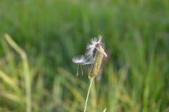 Les graines de pissenlit ont rattrapé sur une tige d'herbe Image libre de droits