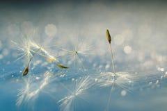 Les graines de pissenlit se ferment vers le haut Image libre de droits