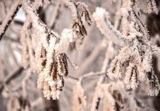 Les graines des arbres de cendre dans le gel Images libres de droits