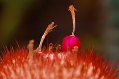 Les graines du cactus sont pollinisées photos libres de droits