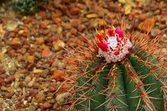 Les graines du cactus sont pollinisées photographie stock libre de droits