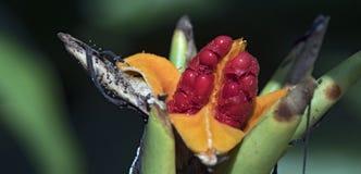 Les graines rouges exubérantes du lis blanc de gingembre image libre de droits