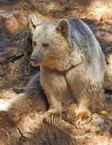 Les grandes belles poses d'ours en stationnement Photos libres de droits