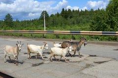 Les grandes et petites chèvres sont sur la route inégale Image stock
