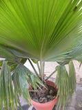 Les grandes feuilles de couleur verte de la Floride argentent l'usine de paume photographie stock libre de droits